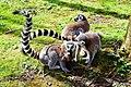 Lemur in Landgoed Hoenderdaell, Anna Paulowna, The Netherlands.jpg