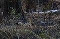 Leopard - Krugerův park - panoramio (2).jpg