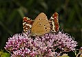 Lepidoptera (27869813913).jpg