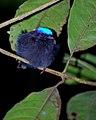 Lepidothrix coronata 2.jpg