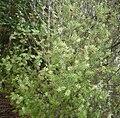 Leptecophylla juniperina 11.jpg