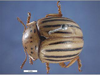 <i>Leptinotarsa texana</i> Species of beetle