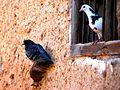 Les oiseaux de Siwa - panoramio (4).jpg