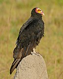 Lesser Yellow-headed Vulture (Cathartes burrovianus) (28695241483).jpg