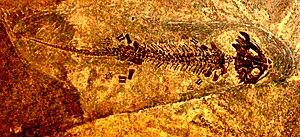 Discosauriscus - Discosauriscus austriacus