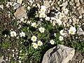Leucanthemopsis alpina001.jpg