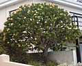 Leucospermum conocarpodendron viridum - South Africa 3.jpg