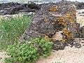 Lichen, Culdaff beach - geograph.org.uk - 1338698.jpg