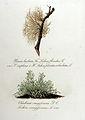 Lichen floridus — Flora Batava — Volume v11.jpg