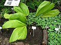 Licuala grandis - Berlin Botanical Garden - IMG 8680.JPG