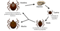Life cycle of ticks family ixodidae-es.PNG