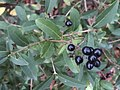 Ligustrum vulgare 55095195.jpg