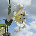 Lilium auratum-IMG 6349.jpg