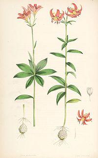 Lilium medeloides