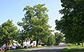 Lime tree, Poolbrook Common, Malvern - geograph.org.uk - 1330327.jpg