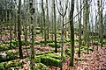 Limestone, Beech Wood - geograph.org.uk - 362227.jpg