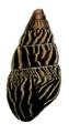 Limicolaria martensiana shell 2.png