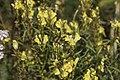 Linaria vulgaris-4374.jpg