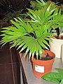 Linvingstonia rotundifolia in pot.jpg