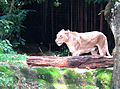 Lion, Singapore Zoo.jpg