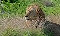 Lion (Panthera leo) (6005210411).jpg