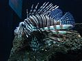 Lionfish 02824.jpg