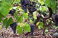 Listan Negro grapes in Tenerife.jpg