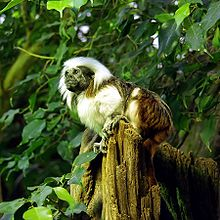 Monkey facing left, with black face, white on most of the rest of the front, and dark in the rear