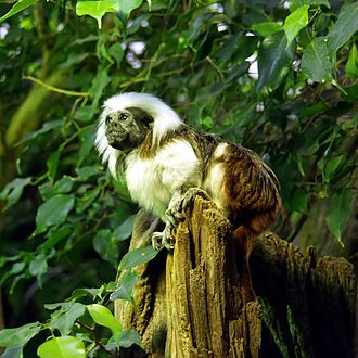 Cotton-top tamarin - The cotton-top tamarin