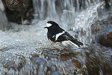 Little Forktail.jpg