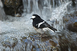 Little forktail Enicurus scouleri