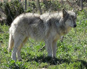 Wolfdog - An Arctic wolf/Alaskan malamute hybrid from Lobo Park, Antequera.