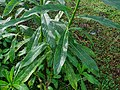 Lobelia nicotianaefolia 02.jpg