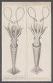 Loligo pelagica - - Print - Iconographia Zoologica - Special Collections University of Amsterdam - UBAINV0274 090 05 0022.tif