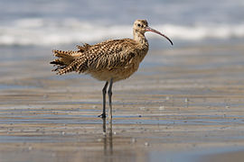 a Long-billed curlew wading in shallow water