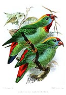 Drawing of two green parrots with red tail, red crown and chin, yellow nape, and blue face