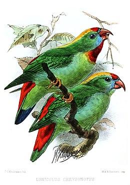 LoriculusIbis1872