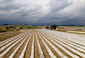 Low tunnels for vegetable production 03.jpg