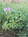 Lto-geranium-pratense-habitus.jpg