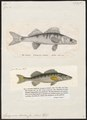 Lucioperca sandra - - Print - Iconographia Zoologica - Special Collections University of Amsterdam - UBA01 IZ12900102.tif