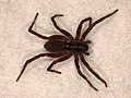 Lycosidae sp. (40479600952).jpg