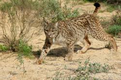 Un lynx pardelle, dans la garrigue