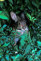 MAM marsh rabbit 728, NPSPhoto, Lavalleye (9255117041).jpg
