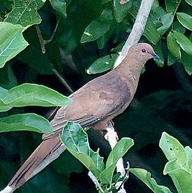 MacKinlay's Cuckoo-Dove (Macropygia mackinlayi) (15716376852) (cropped).jpg