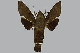 Macroglossum micacea albibase, male, upperside. Papua New Guinea, Solomon Is., Bougainville.jpg