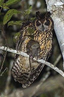 Madagascan owl species of bird