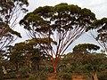 Magnificent gum tree in WA wilderness.jpg