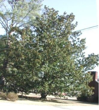 Magnolia grandiflora - Image: Magnolia grandiflora 2004