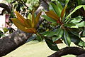 Magnolia grandiflora au Plateau des poètes003.JPG