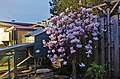 Magnolia in volle bloei. (33645581858).jpg
